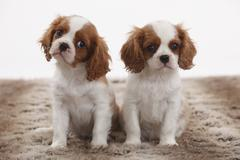 Portrait of two Cavalier King Charles Spaniel puppies sitting on brown plush - stock photo
