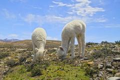 South America, Peru, Andes, Llama babies eating, Lama glama - stock photo