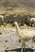 South America, Peru, Andes, Llamas, Lama glama Stock Photos