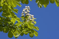horse-chestnut (aesculus hippocastanum) blossoms and leaves sprouting in spri - stock photo