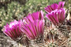 strawberry hedgehog cactus (echinocereus engelmannii), california, usa, north - stock photo