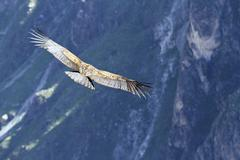 South America, Peru, Andean Condor, Vultur gryphus, flying - stock photo