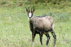 chamois (rupicapra rupicapra), eng-alm alpine pasture, karwendel range, tyrol - stock photo