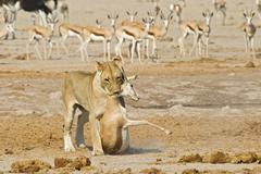 Stock Photo of lioness (panthera leo) and a captured springbok (antidorcas marsupialis), pre