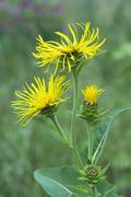 Elecampane or horse-heal (inula helenium) in gertrude messner\'s herb garden, Stock Photos
