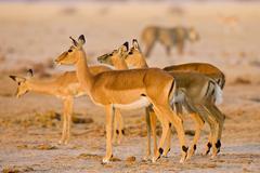 Impala, antelopes (aepyceros melampus), lioness (panthera leo) at back, nxai  Stock Photos