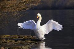 Stock Photo of mute swan (cygnus olor) flapping its wings