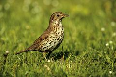 Song thrush (turdus philomelos), adult bird on a meadow, st. andrae am zickse Stock Photos