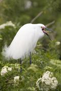 great egret (ardea alba) with breeding plumage, gator park, kissimmee, florid - stock photo