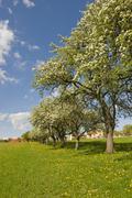 Avenue of pear trees in bloom, geretschlag, bucklige welt, lower austria, aus Stock Photos