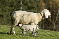 Domestic sheep (ovis orientalis aries), ewe suckling lambs, heuberg, stans, t Kuvituskuvat