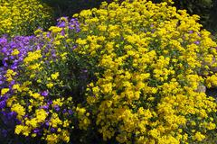 Basket of gold goldentuft or golden alyssum (alyssum saxatilis), aubretia, wh Stock Photos