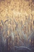 Rye field, Secale cereale, partial view Stock Photos