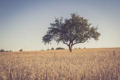 Single tree in wheat field, Triticum sativum, at evening twilight - stock photo