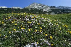 Stock Photo of flower meadow, brandenberg alps aka rofan range, tyrol, austria, europe