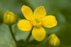 Kingcup or marsh marigold (caltha palustris) flowers, tratzberg, stans, tyrol Stock Photos