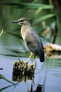 black-crowned night heron (nycticorax nycticorax) fledgling sitting on a bran - stock photo