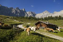 cows grazing on the ladiz-alm alpine pasture, karwendel range, tyrol, austria - stock photo