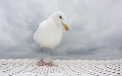 herring gull (larus argentatus) standing on a white roofed wicker beach chair - stock photo