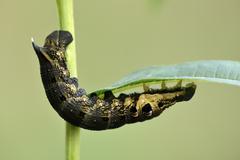 Elephant Hawk-moth caterpillar, Deilephila elpenor, on leaf Stock Photos