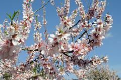 blossoming almond tree (prunus dulcis, prunus amygdalus), benirrama, valles d - stock photo
