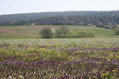 Flowering uncultivated meadow with red deadnettle or purple deadnettle (lamiu Stock Photos