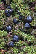 Stock Photo of crowberry (empetrum nigrum), grosser gamsstein, tux alps, tyrol, austria, eur