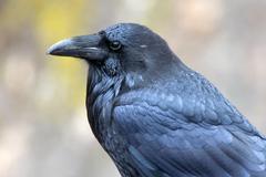 Common raven (corvus corax), karwendel mountain range, tyrol, austria, europe Kuvituskuvat