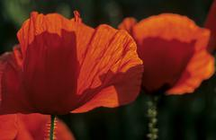 red corn poppy (papaver rhoeas) flowers in the evening back light - stock photo