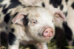 Piglet (sus scrofa domestica), on an organic farm Kuvituskuvat