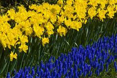 daffodils (narcissus) and grape hyacinths (muscari armeniacum), keukenhof, ho - stock photo