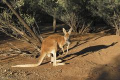 Red kangaroo (macropus rufus), desert park, alice springs, northern territory Kuvituskuvat