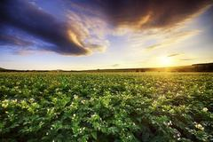 Scotland, East Lothian, sunset over potato field - stock photo