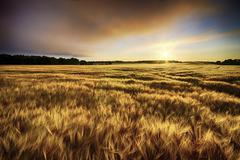 Scotland, East Lothian, sunrise over barley field - stock photo