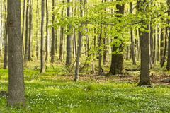 Stock Photo of Soehrewald, wood anemones, Anemone Nemorosa, growing under the trees