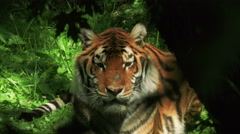 Incredible footage of a tiger in it's natural setting Stock Footage