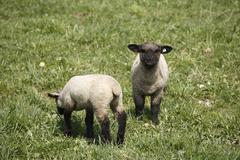 Lambs, rhoen mountain sheep (ovis ammon f. aries), lange rhoen, lower francon Kuvituskuvat
