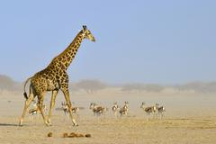 Giraffe (giraffa camelopardalis) and a herd of springbok (antidorcas marsupia Stock Photos