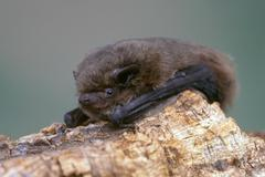 Common pipistrelle bat (pipistrellus pipistrellus) clinging to a piece of woo Kuvituskuvat