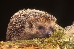 european hedgehog (erinaceus europaeus), schwaz, tyrol, austria, europe - stock photo