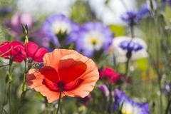 Stock Photo of Red poppy, Papaver, on summer meadow