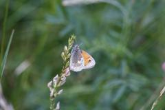 Small heath, Coenonympha pamphilus, sitting on blossom Stock Photos