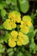 Alternate-leaved golden saxifrage (chrysosplenium alternifolium) Stock Photos