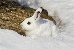 mountain hare (lepus timidus) hiding, snow, germany, europe - stock photo