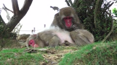 Japanese Macaque Monkey Grooms Another On Green Forest Floor 4k Stock Footage