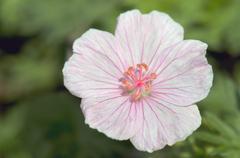 Stock Photo of geranium (geranium), flower