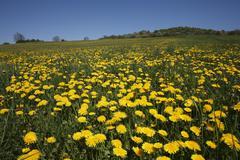 Dandylion meadow at bischofsheim, rhoen, lower franconia, bavaria, germany, e Stock Photos