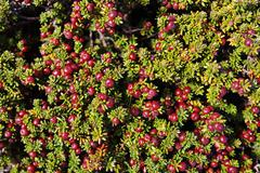 prickly heath (gaultheria mucronata or pernettya muctronata), in torres del p - stock photo