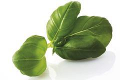 Fresh basil leaves (ocimum basilicum) Stock Photos