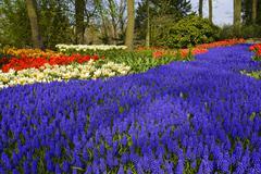 grape hyacinth (muscari armeniacum) and tulips (tulipa), keukenhof, holland,  - stock photo